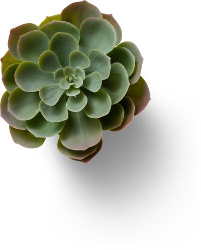 Eine Pflanze mit rötlich-grünen Blättern von oben