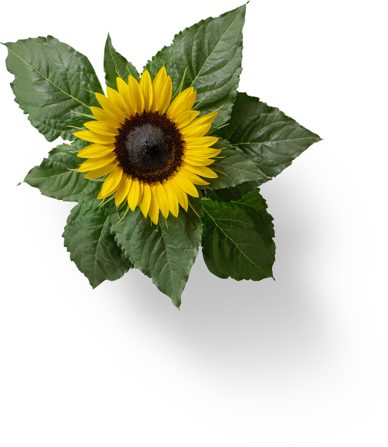 Eine Sonnenblume von oben